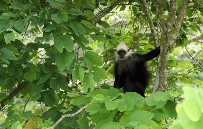 白头叶猴40年来首次进入人类聚居区