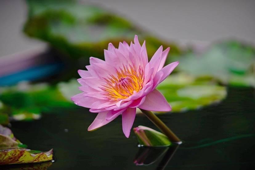 秋日治愈系上线 辰山植物园粉色系睡莲尽显柔和之美