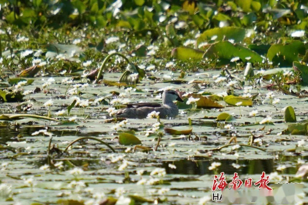 时隔117年!珍稀鸟类棉凫现身海南昌江海尾湿地公园
